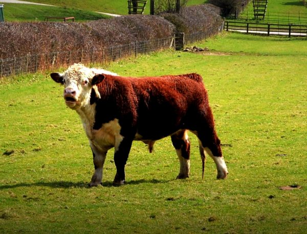 A whole Hereford Beef animal
