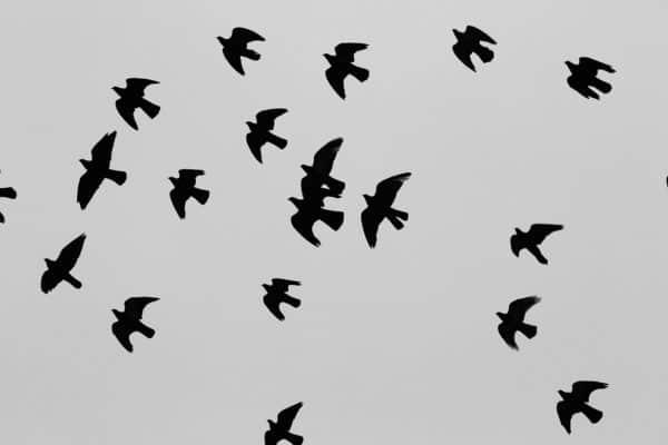 wild pigeon breasts