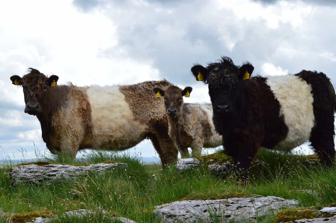 Belted galloway Beef